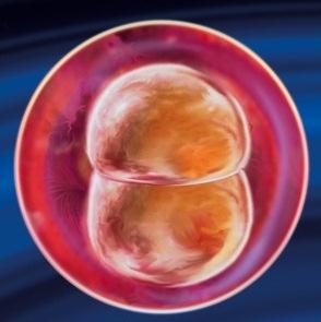 Вторая неделя беременности от зачатия