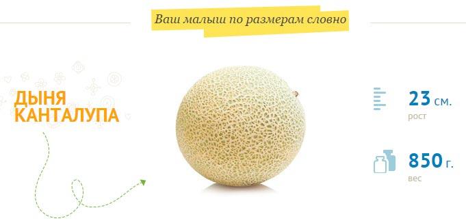Размер плода на 26 неделе беременности