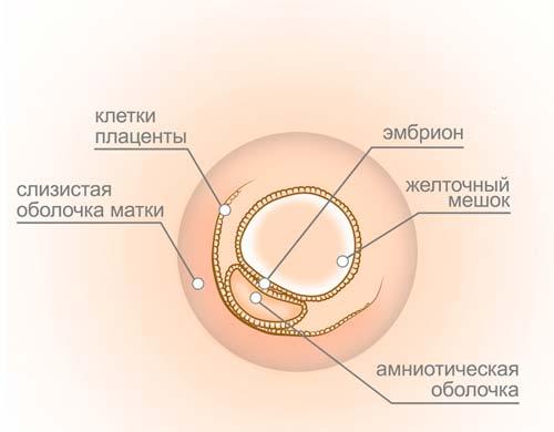 Организм на третьей неделе беременности